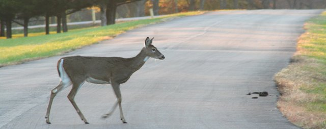 Deer numbers have mushroomed in western Shawnee, and police were concerned last week after finding signs of illegal hunting. The increase in deer numbers is readily apparent to anyone who visits Shawnee Mission Park around dawn or dusk, although park police said there has been no evidence of poaching, or illegal hunting, there. This doe skipped nonchalantly across one of the park roads a few minutes before sundown Monday.