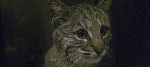 This young bobcat is recovering at Operation Wildlife near Linwood after being found beside the road earlier this month in Lansing. The cat apparently had been struck in an automobile accident.