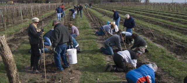 Two dozen volunteers spent their early morning hour on Sunday planting rootstalks at Holy-Field 	Vineyard and Winery in Basehor. It will take a few years before these vines are ready to produce suitable grapes for wine making.