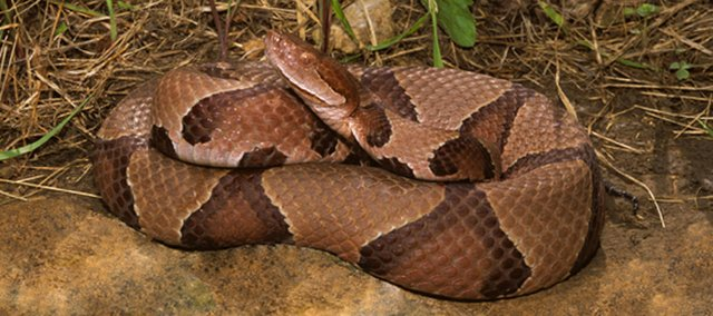 Copperheads are one of few species of venenemous snakes indigenous to northeast Kansas. Experts say, that while the reptiles generally will not attack unless provoked, a person, if bitten, should seek immediate medical attention.