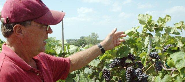 Pep Solberg lifts up the canopy on some vines to reveal clusters of grapes at Bluejacket Crossing Vineyard and Winery, located about four miles southwest of Eudora.