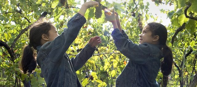 Kayla Lee, left and her sister Erica snip a cluster of grapes from the vines at Holy-Field Winery in Basehor.