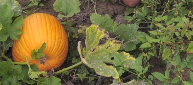 Mike Garrett, a longtime Lawrence truck farmer, figures his pumpkin yields are only 25 percent of what they should be by now on his 16-acre field in Linwood. Weather conditions and economic factors have not added up to a good year for the autumn favorite.
