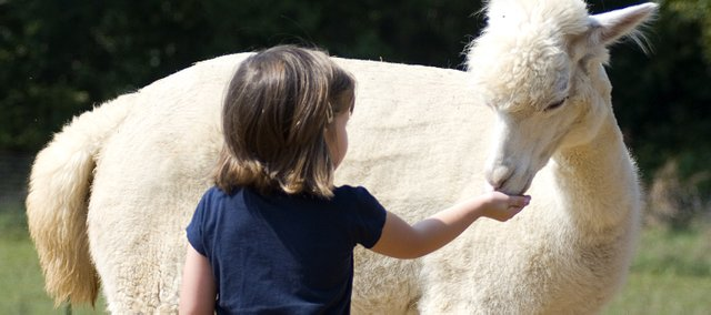 Triton Davey, 4, gives Belinda the alpaca a few food pellets during her visit to the Kaw Valley Alpacas on Sunday. Kaw Valley Alpacas, owned by Macel and Bruce Koerth, was part of National Alpaca Farm Day.