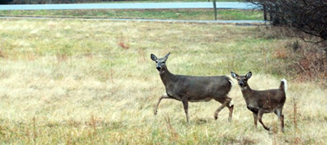 Two deer frolic in an open field in Shawnee Mission Park. The Kansas Department of Wildlife and Parks estimates there are about 200 deer per square mile in the park, or about 400 deer. That's the largest concentration of deer in the state.