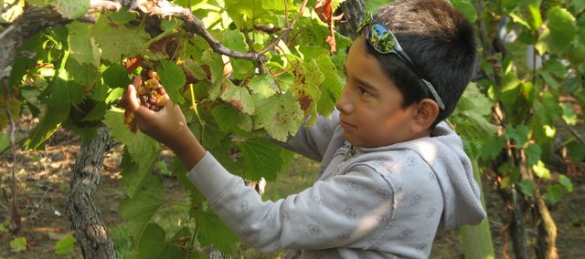Sebastian Gallegos snips a cluster of grapes from a vine Sunday at the Basehor Holy-Field Vineyard and Winery.  Volunteers come to the vineyard each weekend from August to October to help with the harvest.