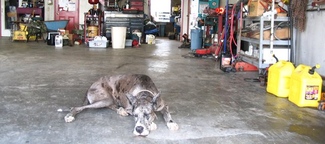 Cuddles, one of two great danes who keep watch at B & B Garage and Tow, 1300 N. 115th St., is one of the reasons three inmates from West Virginia were recently captured in Basehor. The dogs barked as the three men walked by the garage alerting a police officer in the area.