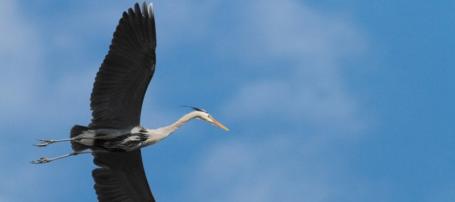 A blue heron sails across a clearing blue sky Sunday over central Shawnee. The birds are among the largest in North America.