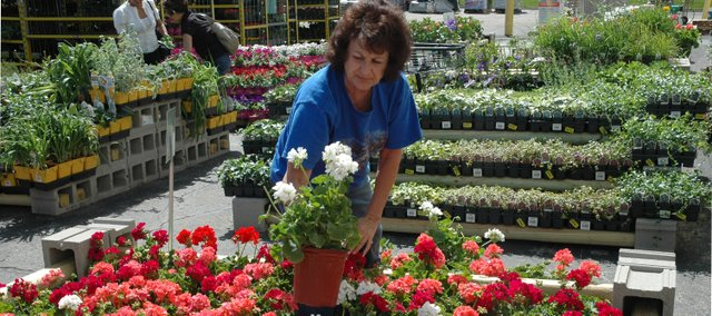 Loretta Cook of Bonner Springs reaches for a better specimen of white geranium Friday at the new Nuts and Bolts True Value hardware store in Bonner Springs.