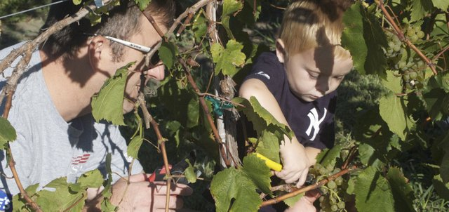 Adam Mack, 3, of Shawnee readies his shears to snip off a clump of grapes, with help from his father, Chris, at Holy-Field Vineyard and Winery on Sunday. Adam and his brother Evan, 5, both did their part to help Holy-Field pick its crop of white Melody grapes during the volunteer harvest Sunday. 