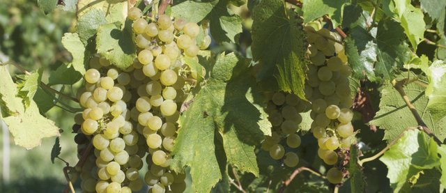 Grapes hang ripe for the picking at Holy-Field Vineyard and Winery in Basehor.