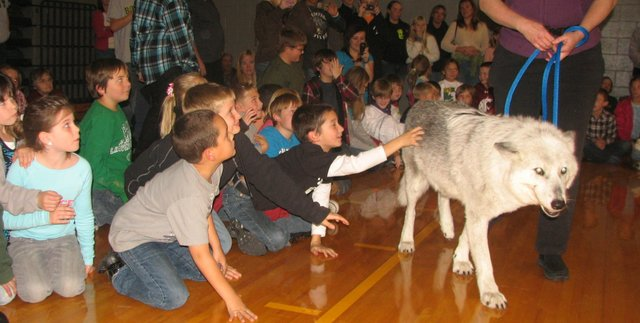 Children at the Basehor Community Library's wolf program at Basehor-Linwood High School on Wednesday reach out to touch Magpie, a wolf from the Mission: Wolf sanctuary in Colorado. Magpie made several rounds around the audience, greeting a lucky few attendees with a touch of her nose.