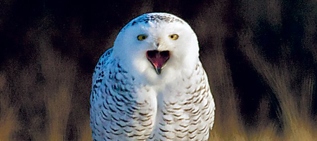 The bird seen here is one of three snowy owls seen Dec. 10 at Smithville Lake in Missouris Clay County. This individual was seen at dawn sitting on a sign.