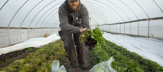 MAD Farm's Dan Phelps harvests some heads of lettuce in a hoop house garden. Phelps said he'd planned on growing and selling greens in the winter, but that this mild winter has made it that much easier.