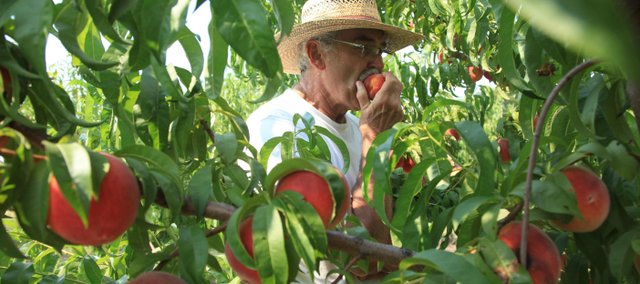 David Vertacnik is one of several northeast Kansas fruit growers with a bumper crop of peaches this summer.
