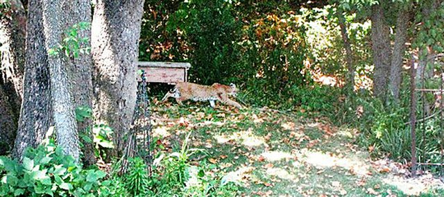 A resident of the Woodland Place subdivision in Shawnee snapped this photo of a bobcat last Thursday near the neighborhood's swimming pool.