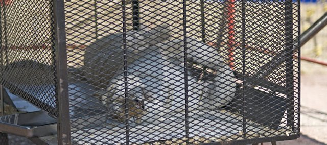 A circus tigers takes a catnap in the heat of the afternoon Thursday.