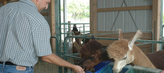 Brian Heimes feeds some female alpacas Friday on his farm west of Bonner Springs. Heimes and his wife, Sharon, began raising and breeding the animals on their 106 acres two years ago and next weekend will open their farm to visitors for National Alpaca Farm Days.