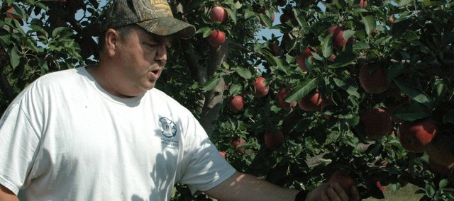 Walt Stephen picks a red delicious apple from one of the trees in his small orchard. Stephen received best red delicious, best tray of apples and Grand Champion Apple for an Arkansas Black apple Sept. 13 at the Kansas State Fair.