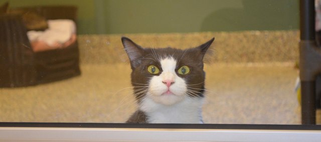 This cat is one of several homeless pets waiting to be adopted at the Great Plains SPCA's Pet Adoption Center at 5424 Anitoch Drive in Merriam.