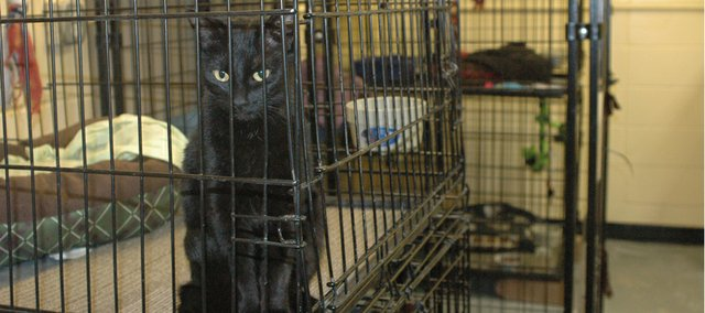 Ezrah, a cat who recently arrived at Bonner Animal Rescue, peers out of her kennel at the animal shelter and adoption organization. The all-volunteer group recently received an outpouring of support from all over the metro area when their heater went out.