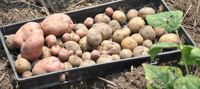Vegetable gardening starts in late March with planting of cool crops such as potatoes, onions, radishes and spinach.