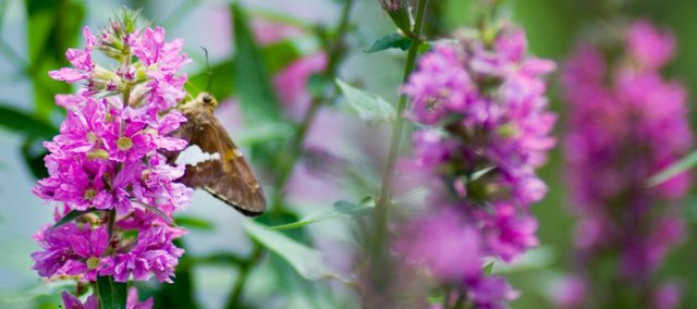 Butterfly gardening attracts flittering bursts of color to homes, as well as provides an important habitat for the creatures.