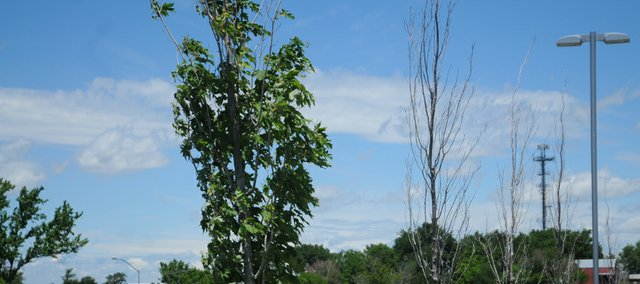 The effect of the drought of the past two years became apparent this spring when trees either failed to leaf out or had many dead branches. A local horticultural expert gives advice on how to determine if a damaged plant should be saved, how to prevent further damage this summer and what plants should be avoided when replanting