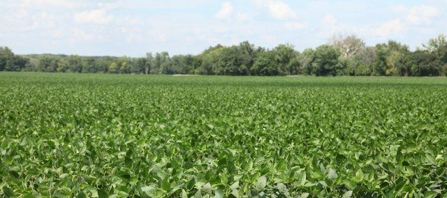Recent rains have benefited soybeans in the area. Here is a soybean field in southern Leavenworth County.