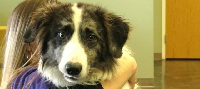 Buddy, a 5-year-old border  collie mix, is available for adoption at Prairie Paws Animal Shelter in Ottawa.
