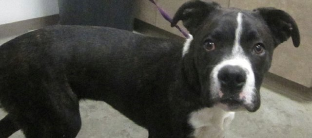 The Prairie Paws Animal Shelter's pet of the week is Bramble, a 5-month-old brindle boxer mix.