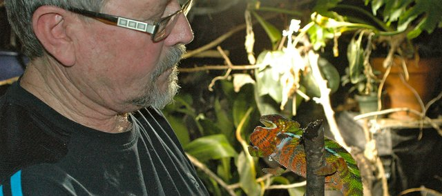 "Ted Kasckow holds Buckmeister, a wild-caught male Ambilobe Panther Chameleon from Madagascar, in the ""jungle room"" in his basement."