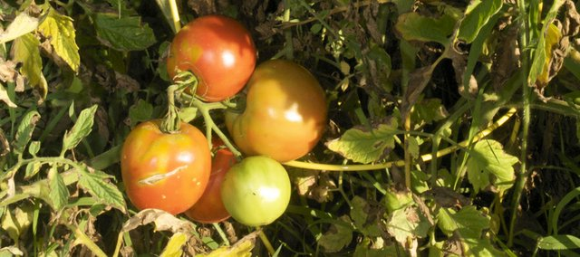 Tomato seeds are among the seed available at a seed exchange now offered at the Baldwin City Community Library.