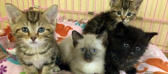 Lots of kittens are available for adoption through Bonner Animal Rescue.