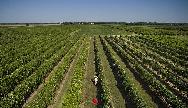 Grape pickers work the near the end of water are quarter-mile rows of grapes on Wednesday, Aug. 17, 2016 at Davenport Orchards and Winery, 1394 East 1900 Road in Eudora.