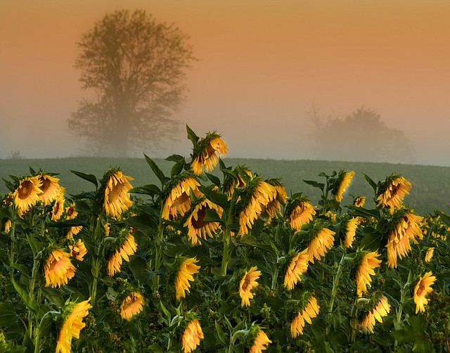 """This artistic photo taken by Jim Walker won Best of Show at the Sunflower Exhibit portion of last year's De Soto art festival. The title of the work is """"Morning Fog."""""""
