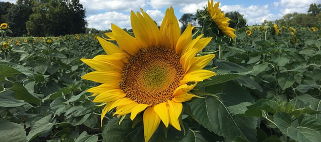 Sunflowers are starting to pop at Grinter Farms. The field should soon be in prime condition for photos, though the Grinter family warns that recent rains have caused parking areas to still be soggy.