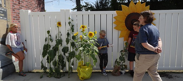 Erin Ellsworth judges sunflowers at last year's Sunflower Stroll. The sunflower growing contest for youths is back this year, as seeds are available at Tonganoxie Public Library.