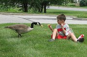 Cameron Morris, 7, feeds a goose he befriended near his Lansing home. The goose provides a social bond for Cameron, who has been diagnosed with Asperger disease, which is similar to autism. In return, Cameron's family helped save a nest full of eggs laid by the goose.