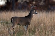 A deer is seen in a field in southern Leavenworth County. The state  Department of Transportation says Kansas drivers should be on high alert especially Saturday, Nov. 18. The department has designated Saturday as Deer D-Day: the day deer-automobile crashes peak in the state. During the past decade, an average of 700 deer-vehicle collisions have occurred in Kansas on this date.
