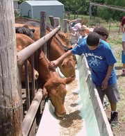Isaiah Peoples, age 11, of Kansas City, Kan., pets cattle at a feeding trough.