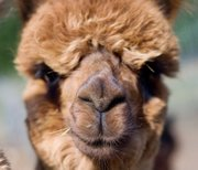 Macel Koerth, co-owner of Kaw Valley Alpacas, said the brown Gracie is one of the more outgoing animals who never shies away from the camera. 
