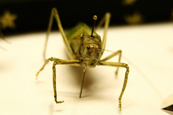 "A mature grasshopper is among the insects displayed in Bryce Zimmerman's insect classification box. Zimmerman, 14, has been in entimology in 4-H for the past 3 years. ""You can find insects everywhere, you just have to be looking for them,"" Zimmerman said."