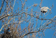 Several great blue herons are nesting in a group of giant white-barked sycamore trees off a trail in Mill Creek Streamway Park in Shawnee. A single blue heron sits on the topmost part of the tree.