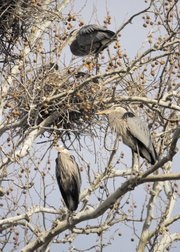 Great blue herons are nesting in a group of giant white-barked sycamore trees off a trail in the Mill Creek Streamway Park in Shawnee. The birds breeding season is from April to July.