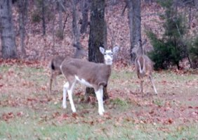 This piebald deer, which lived many years along Johnson Drive, became a familiar face for residents and passers-by in the neighborhood. The rare color pattern is caused by a genetic abnormality.