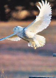 One of three snowy owls spotted Dec. 10 at Smithville Lake in Clay County, Mo., takes flight. This individual was seen at dawn sitting on a sign at the south end of the dam. About 8 a.m., it flew north across the face of the dam and was again found south of Paradise Pointe Golf Course.