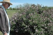 Darrell Donahue surveys his Korean lilac bushes, one of several plants fully in bloom in his gardens.