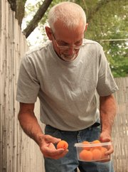 Bernie Antes sorts apricots at the Stony Ridge Farms booth at Cottins Hardware Farmers Market in Lawrence. Stony Ridge Farms, located in McClouth, produced its first crop of apricots in several years, thanks to the mild winter.