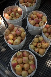 A few hours of picking at Richardson's Orchard, located between Lawrence and Tonganoxie, yielded buckets of Gala apples earlier in August.